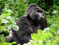 Uganda Eco Lodges Tours to see the mountain gorilla