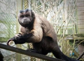 Kodak is one of the primates at The Monkey Sanctuary
