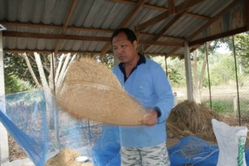 Rice threshing the old fashioned way