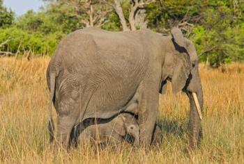 Botswana-African Bush elephant