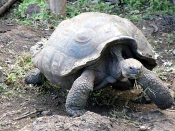 South America Ecotourism-Ecuador-Giant Galapagos turtle