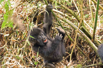 African Jungle Adventures in Rwanda and Uganda