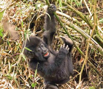 African Jungle Adventures-baby mountain gorilla