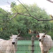 FaaSai Resort and Spa-Thailand-Our Cows