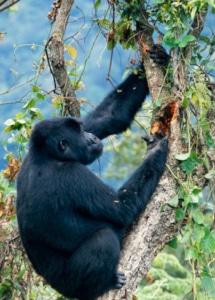 Uganda's Parks and Wildlife chimpanzee
