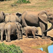 Uganda's Parks and Wildlife herd of elephants