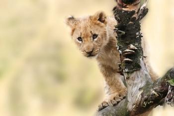 Uganda's Parks and Wildlife Baby Lion
