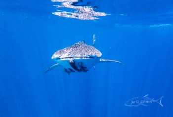 Whale Shark Diaries-Mexico- The endangered gentle whale shark