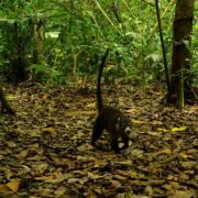 Wild Cat Monitoring Program prey
