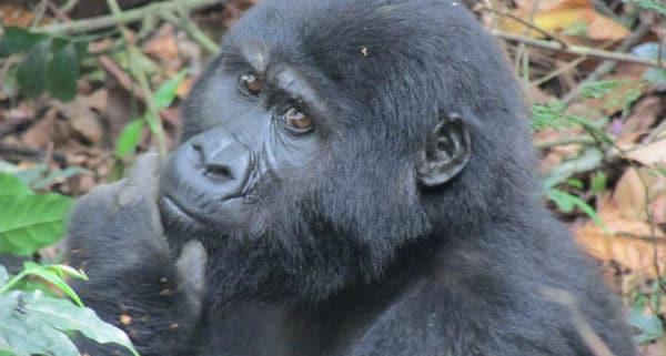 Mountain Gorilla Safari