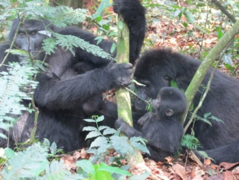 Mountain Gorilla Safari Family Group