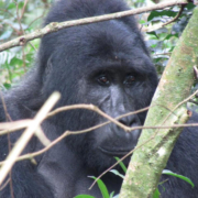 Gorilla Trekking Regulations and Permits