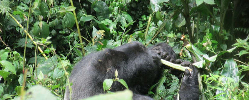 Frequently asked questions about gorilla trekking