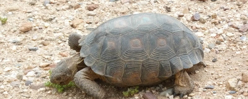Endangered species in my yard-Desert Tortoise